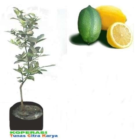 Bibit Buah Nangka Mini - Tinggi 40cm. Source · Bibit Okulasi Jeruk Lemon Lime Tanpa