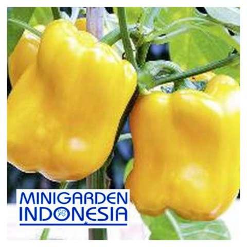 Home; 3 Benih Paprika golden star F1 bibit tanaman sayur sayuran cabe cabai kuning