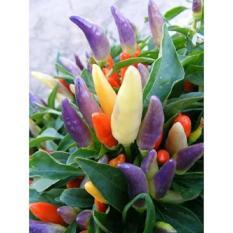 Benih Cabe / Cabai Warna Warni / Multiwarna / Rainbow / Colorful Ornam