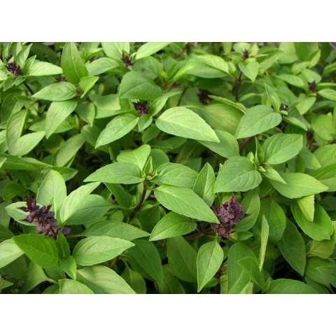 Benih/Bibit Herba Thai Basil 20 Biji