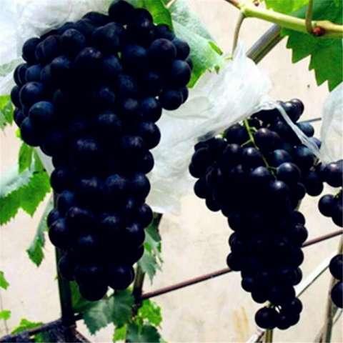 Home; berisi 5 biji benih buah anggur hitam lokal