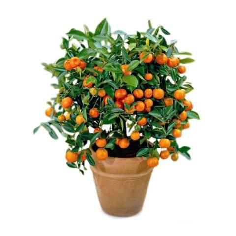 Home; berisi 7 biji benih / bibit bonsai buah jeruk kino pakistan