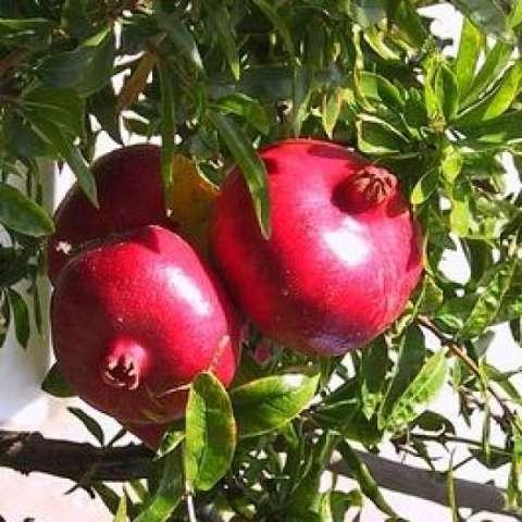 berisi 7 biji benih / bibit buah delima merah import