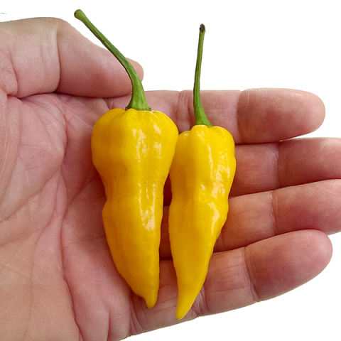 Bibit Bunga Benih Bhut Jolokia Kuning (Yellow Bhut Jolokia)