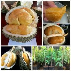 Bibit Durian Duri Hitam