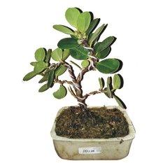 Bibit Eksotic Bonsai Pohon Dollar