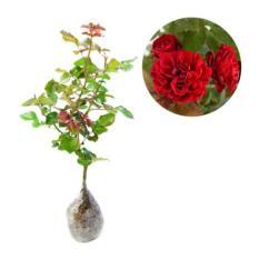 Bibit Eksotic Mawar Floribunda Merah