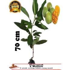 Bibit Tanaman buah Mangga INDRAMAYU