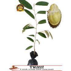 BIBIT TANAMAN Durian bangkok
