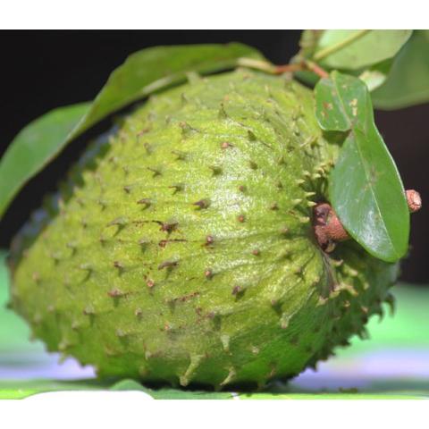 biji benih buah sirsak unggul berisi 5 butir
