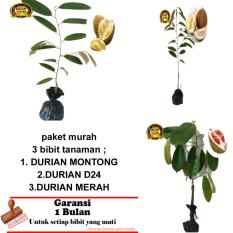 PAKET 3 BIBIT TANAMAN DURIAN MONTONG,D24,MERAH