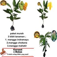 PAKET 3 BIBIT TANAMAN MANGGA INDRAMAYU,CHOKANA ,MAHATIR