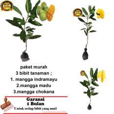 PAKET 3 BIBIT TANAMAN MANGGA INDRAMAYU,MADU ,CHOKANA