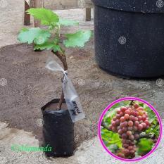 Bibit Buah Anggur Red Prince - Tinggi 20Cm