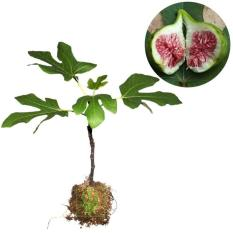Bibit Tanaman Buah Ara Tin Green Yordan - Ukuran 20 - 40Cm