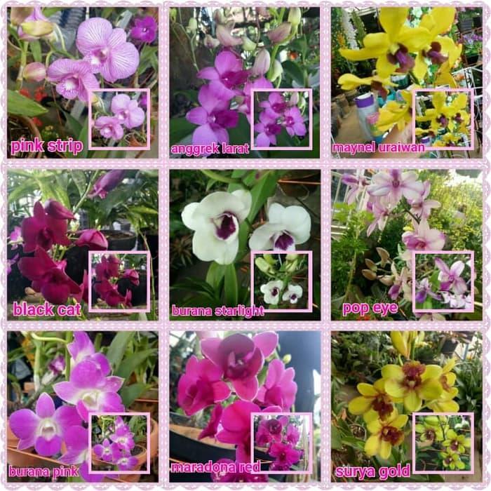 Tanaman Bunga Anggrek