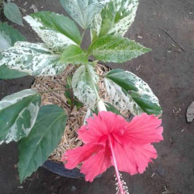 Tanaman Hias Bunga Sepatu Varigata Tanaman Kembang Sepatu Varigata Pohon Bunga Sepatu Murah Lazada Indonesia