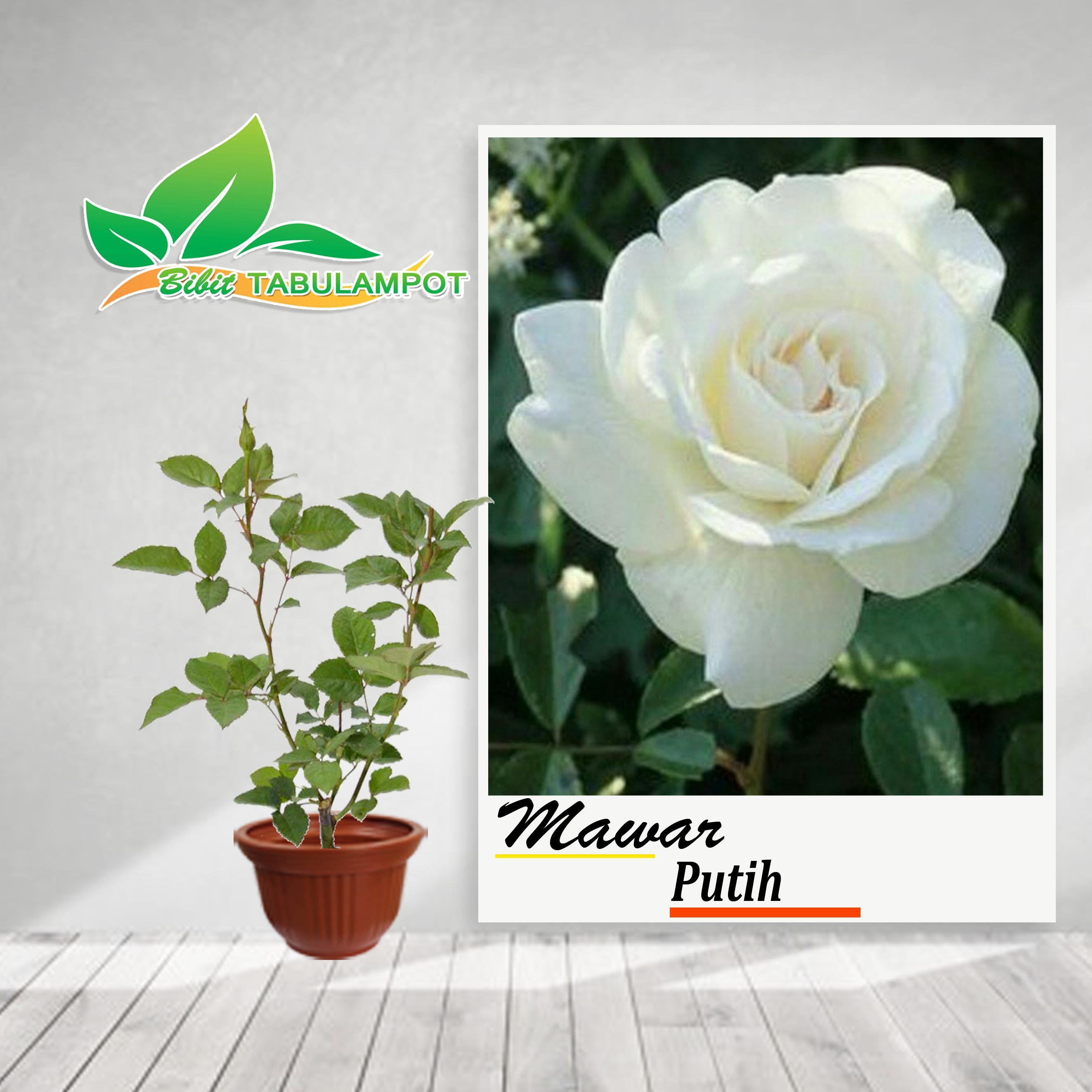 Bibit Tanaman Hias Bunga Mawar Putih Lazada Indonesia