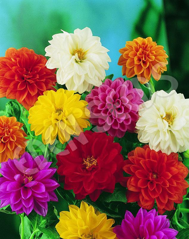 Amefurashi 15 Bibit Benih Seeds Dahlia Unwins Dwarf Mix In Many Color