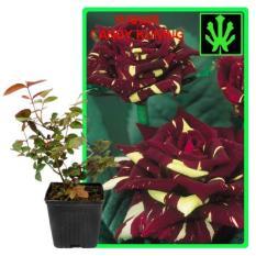 Bibit Bunga Mawar Candy Kuning