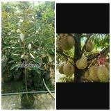 Katalog Bibit Durian Musang King Multi Terbaru