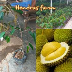 Bibit Durian Musangking Kaki 4