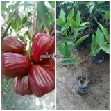 Tips Beli Bibit Jambu Air Madu Merah