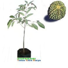 Bibit Okulasi Tanaman Durian Duri Hitam