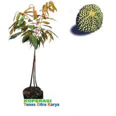 Bibit Okulasi Tanaman Durian Duri Hitam - Kaki 3