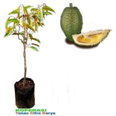 Bibit Okulasi Tanaman Durian Petruk Siap Tanam