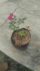 Bibit/Tanaman Hias Bunga Mawar Pink