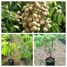 Paket Bibit Kelengkeng Itoh Dan Aroma Durian