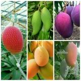 Promo Bibit Mangga Import 5 Pohon Lampung Diskon 50