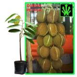 Jual Beli Online Tanaman Buah Durian Petruk Tinggi 60Cm