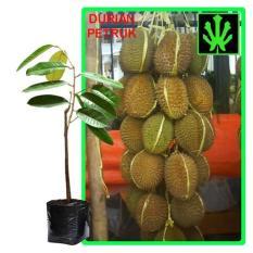 Spesifikasi Tanaman Buah Durian Petruk Tinggi 60Cm Yg Baik