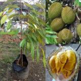 Jual Tanaman Durian Musangking Kaki 3 Online