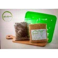 Wheatgrass Seed/Bibit Rumput Gandum