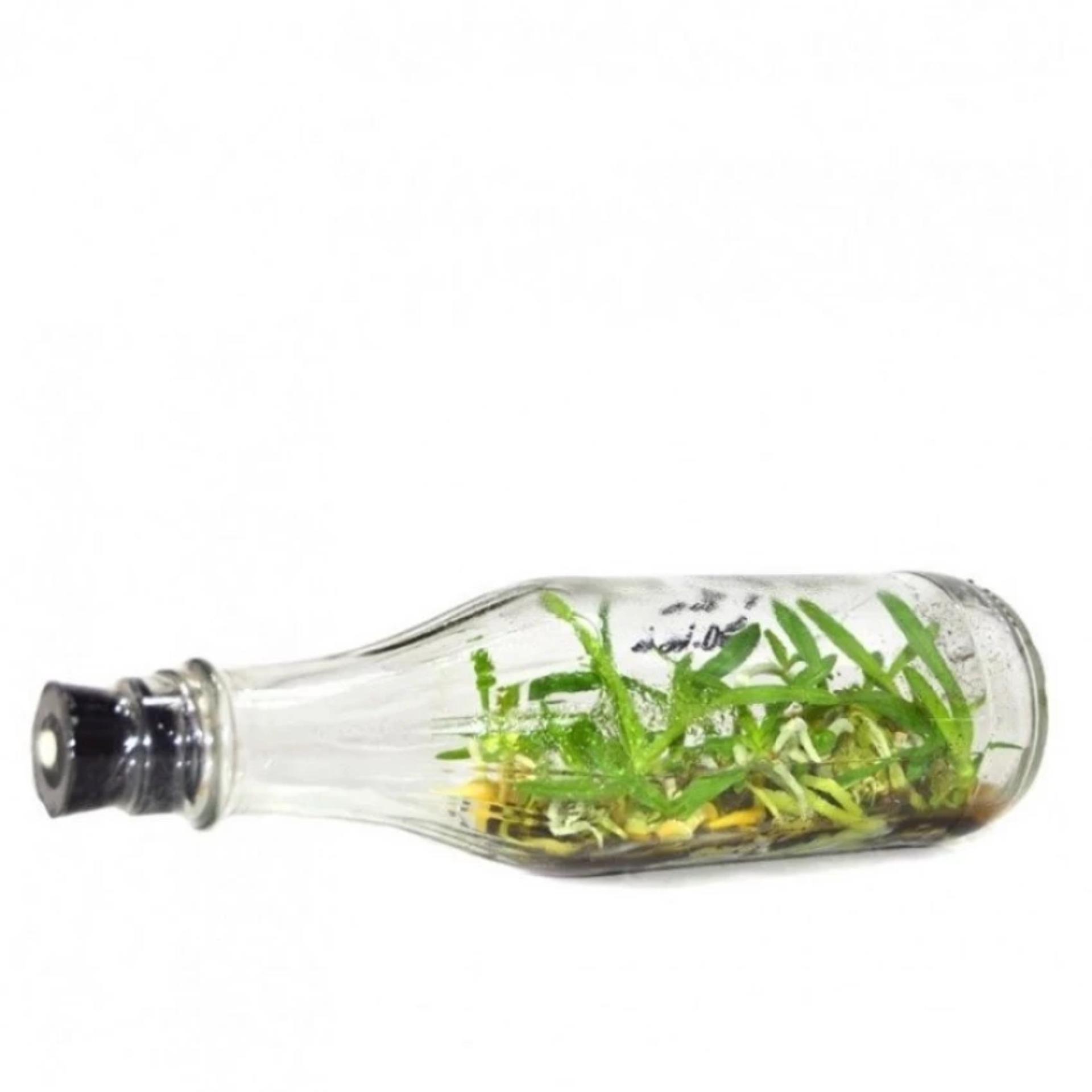 Anggrek Botol Dendrobium