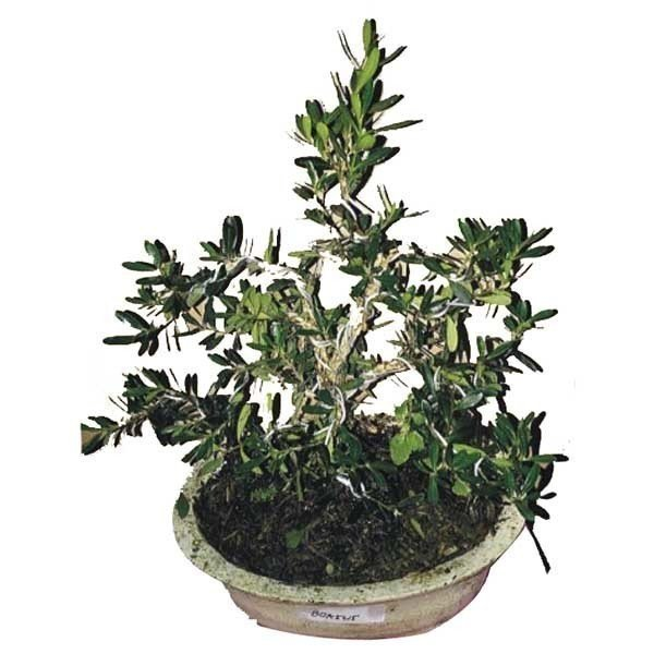 Bibit Eksotic Bonsai Pohon Buxus