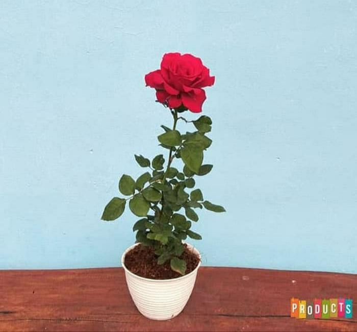 Tanaman Bunga Mawar Merah Grade A Cod Bibit Warna Dikirim Random Bibit Berkualitas Lazada Indonesia