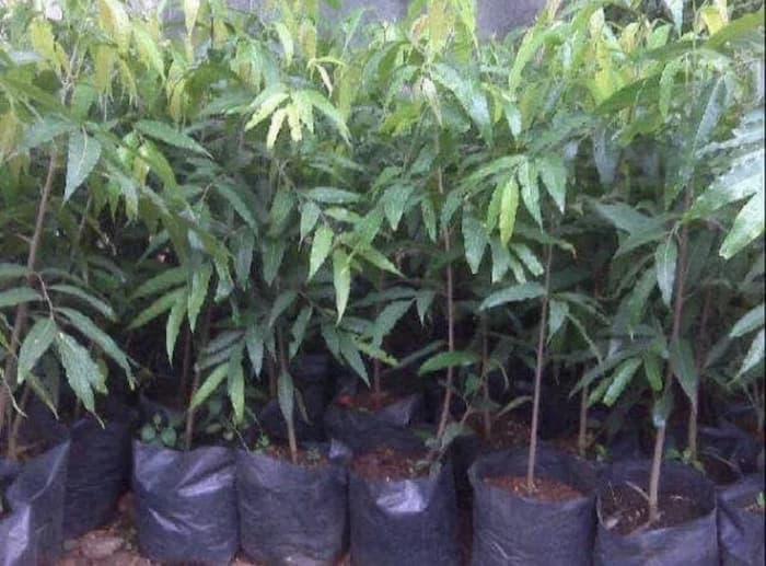 Promo 10 Bibit Pohon Glodok Glodokan Tiang Pecut Bibit Murah