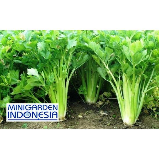 Harga preferensial 100 Benih Seledri Summer bibit tanaman sayur sayuran hidroponik beli sekarang - Hanya Rp4