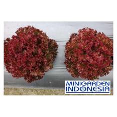 100 benih selada merah salad olga red bibit tanaman sayur sayuran hidroponik