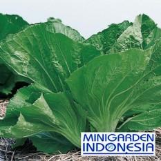 100 Benih Sawi Pahit Morakot  Biji bibit Tanaman Sayuran Hidroponik