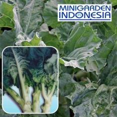 150 Benih Kailan Baby Nova F1 bibit tanaman sayur sayuran hidroponik