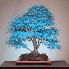 20 Bonsai Blue Maple Bibit Pohon Bonsai Biji Pohon. Langka Jepang Sky Blue Maple Biji Balkon Tanaman untuk Home Garden