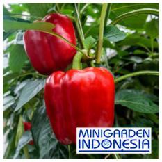5 Benih Paprika merah Red Star F1 bibit tanaman sayur sayuran cabai cabe