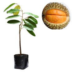 Alamanda - Bibit Buah Durian Simas - Tinggi 50cm