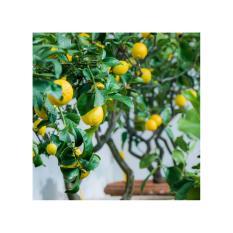 Amefurashi 5 Benih / Bibit / Biji Buah Lemon Import