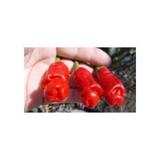 Amefurashi Benih / Bibit/ Biji Cabe Porno Red Peter Pepper Ornamental